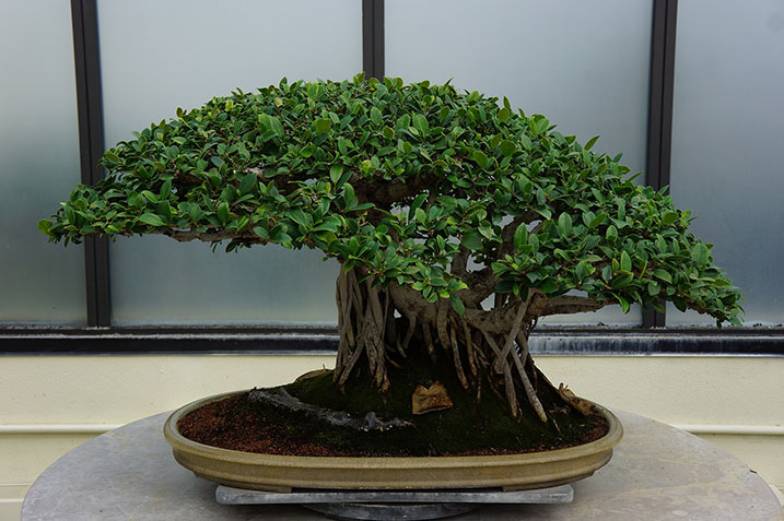 office bonsai tree. Brilliant Office Bonsai Trees Are Currently Trending As Desk Plants These Miniature  Can Add A Sense Of Tranquillity And Touch Class To Any Office Space With Office Tree O